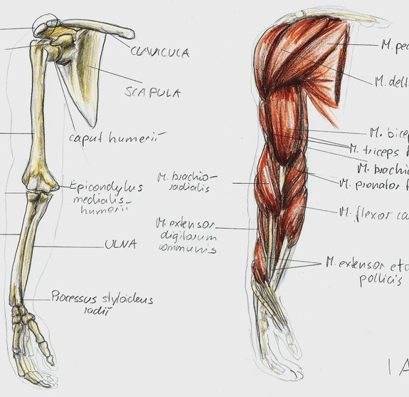 Guide To Bigger Arms